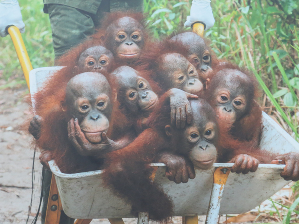 Baby orphaned Orangutans in Borneo. An endangered species. Tim Laman, U.S.A. for National Geographic.