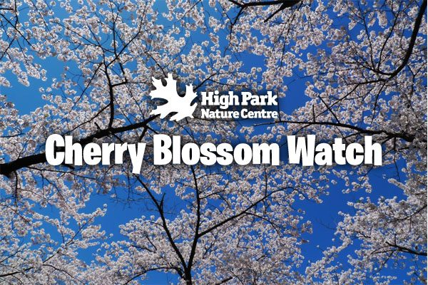 752. Japan's Cherry Blossoms April 22 , 2017
